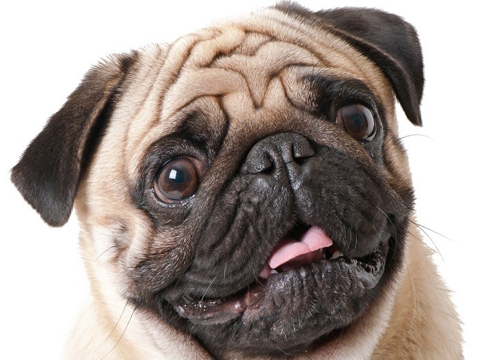 Why The French Bulldogs are Incredible Pets